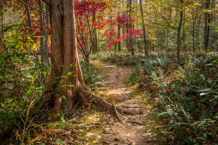 Trail through the woodlands in autumn with a large cedar tree in the foreground and a bright red Japanese maple in the background with fallen leaves on the path and ferns alongside on a sunny day in fall Stock fotó - 155444409