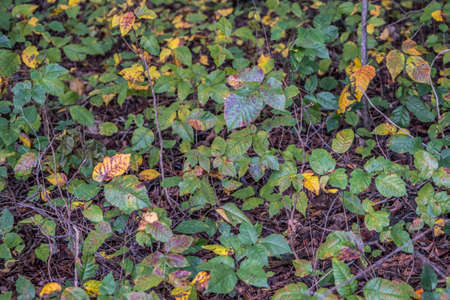 Looking down on a patch of poison ivy in the forest alongside the hiking trail that is changing colors in the fall season