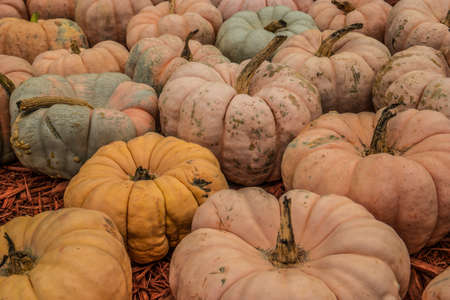 Light pastel colored oddly shaped pumpkins cluster together unique type of pumpkin for sale at a farm for Halloween decorations in autumn