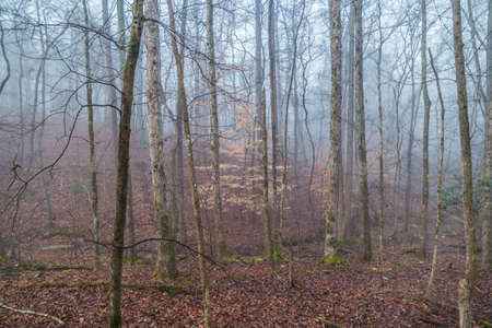 A dense wooded forest with fallen leaves on the ground surrounded by the fog that is clearing with the sunlight appearing in the winter morning Archivio Fotografico