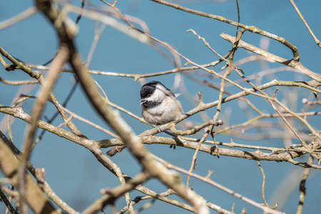 A black capped chickadee high above perch on a tree branch singing on a bright sunny day in wintertime in the forest
