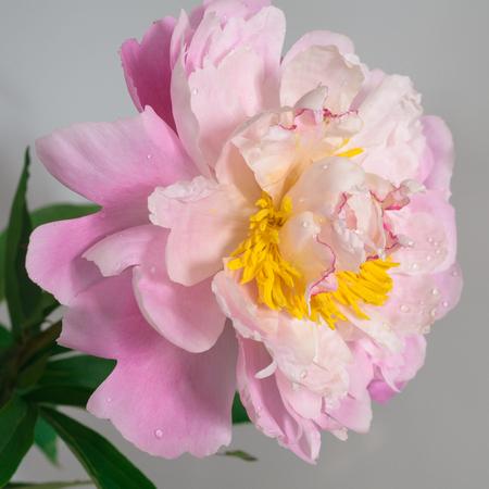 pink peony close-up