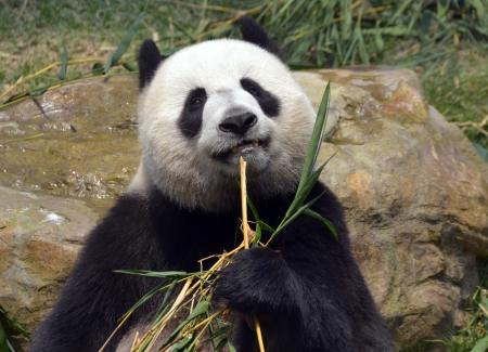 panda eating bamboo leaf Stock Photo