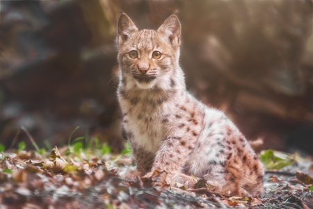 the lynx: A little bobat sitting and looking into the camera