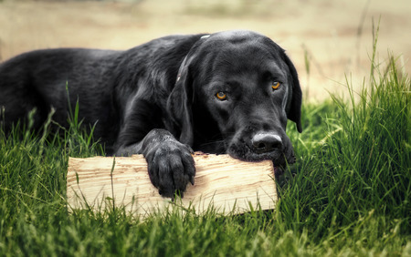Black labrador retriever lying on gras with a pice of wood Stock Photo