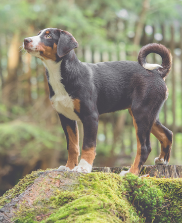 Appenzeller puppy stands and waits Stock Photo