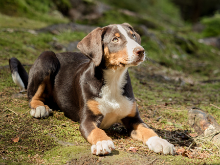 Appenzeller puppy is lying and waiting Stock Photo