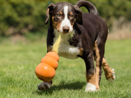 Appenzeller puppy playing