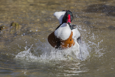 camargue: A Brandgans floating in the water