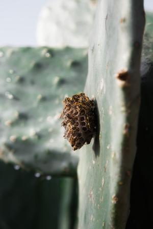 nectar: Wasp nest on a cactus leaf Stock Photo