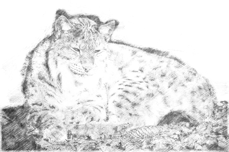 Sketch - Lying lynx in the sun and relaxing