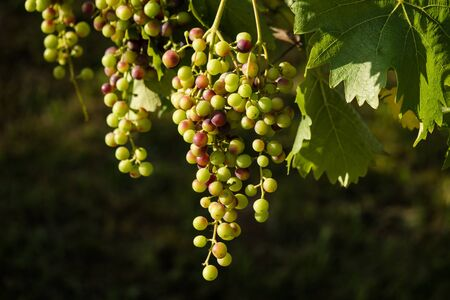 Ripe grapes hanging on the tree
