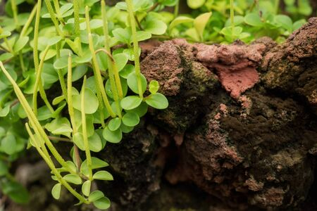 textured wall: Peperomia growing on stone