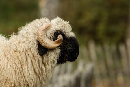 Valais black nose with soft bokeh