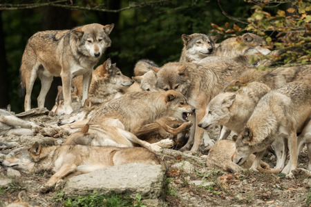 A pack of wolves on a rock Imagens