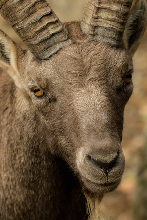 Head of a goat with soft bokeh