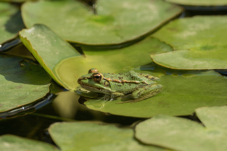 A green frog sitting in the pond full of water lilies 写真素材