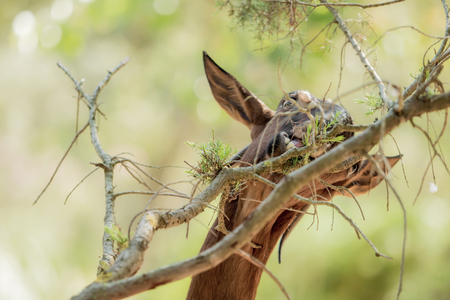 A brown goat is eating leaves from a branch