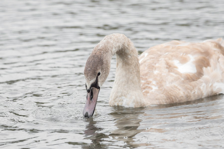 A beautiful swan is swimming on a lake Stock Photo