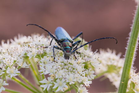 A beetle with long antennae sits on a flower Stock Photo