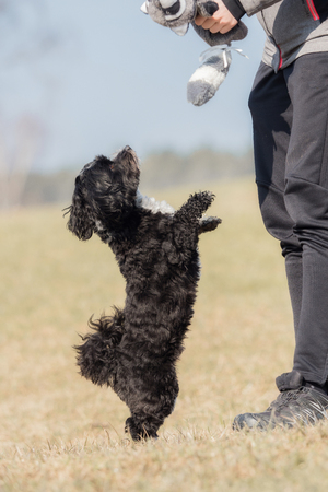 A little Havanese plays outside in the meadow