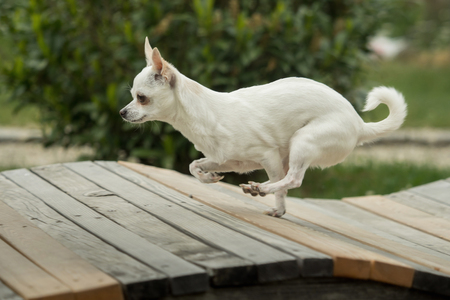 A little white chihuahua is playing outside