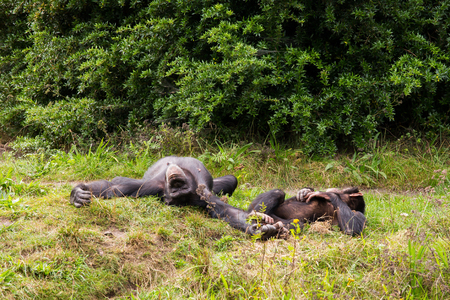 Two chimpanzees lie in the meadow Stock Photo