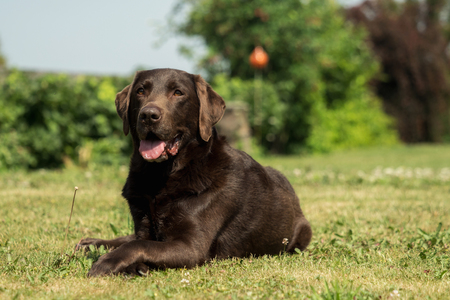 An old brown Labrador Retriever in the garden