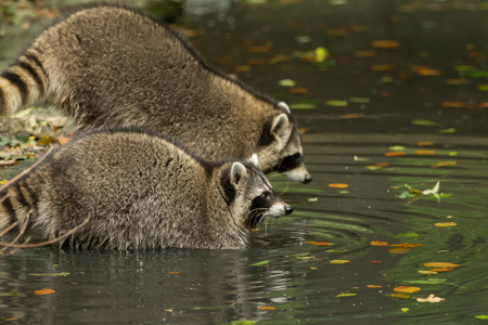 Some raccoons play outside by the water Stock Photo
