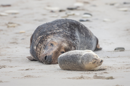 A grey seal lies on the beach on Helgoland