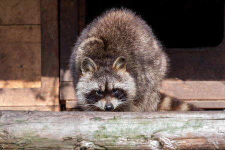 A raccoon looks straight into the camera