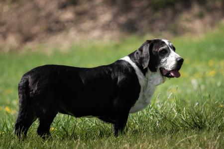 A black and white basset dog outside