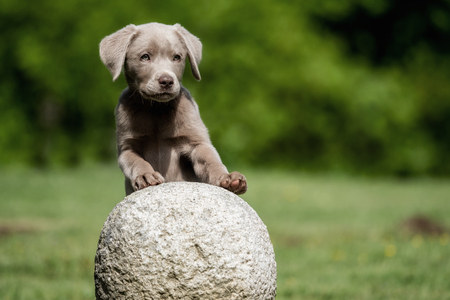 A little labrador puppy is playing outside