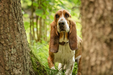A basset with long ears out in nature Stock Photo