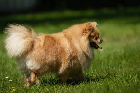 A little Pomeranian out in the nature Stock fotó