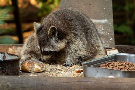 A raccoon is eating something outdoor