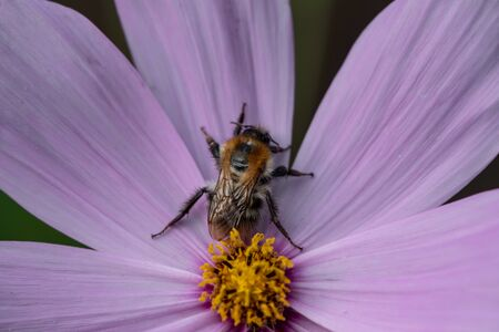 A bee full of pollen on a flower