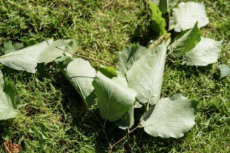Fallen leaves lie around in the garden Stock Photo