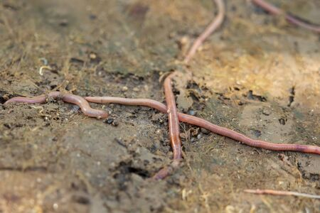 An earthworm crawls over and under the earth in the garden