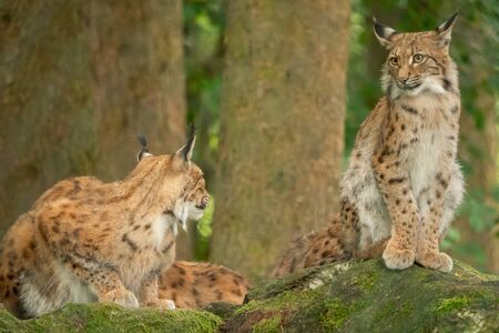 A big lynx is attentive outside