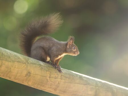 A beautiful squirrel on a wooden beam Stock fotó