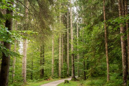 Many big trees in the forest, right in the middle is a path