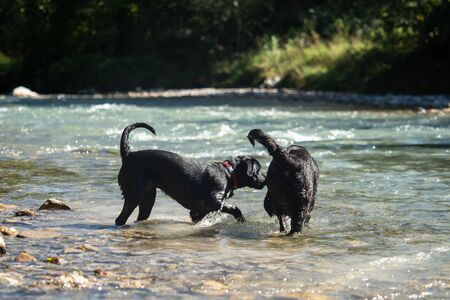 Two black Labrador Retrievers play together in the water Stock fotó