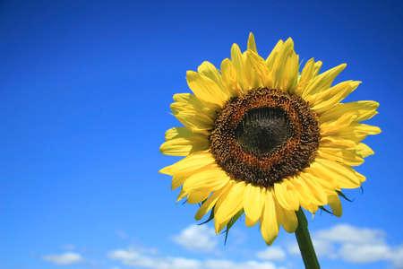 Golden sunflower  against a blue sky Stock Photo - 775938
