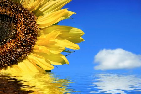 Golden sunflower,cloud and water against a blue sky Stock Photo - 775939