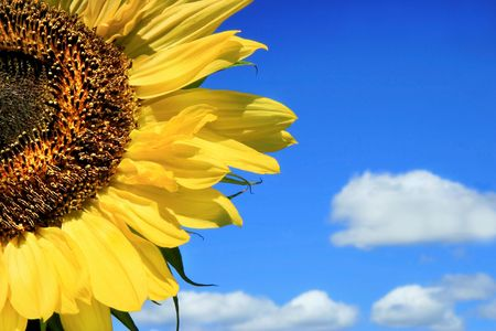Sunflower and clouds against a blue sky Stock Photo - 775941
