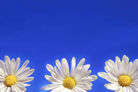 Three daisies against the blue sky Stock Photo - 775936