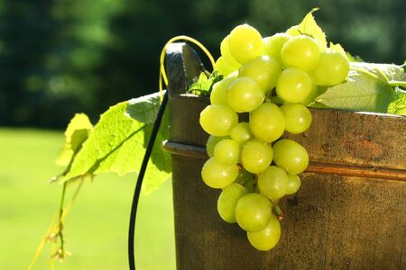 winemaker: Green grapes in a wine bucket