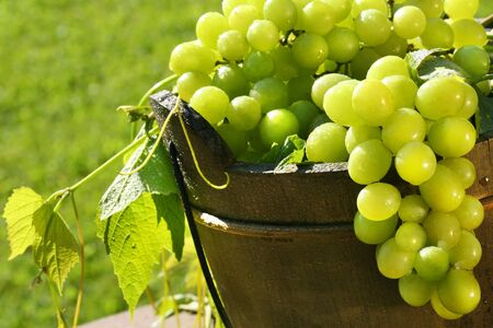 the fruitful: Green grapes in the summer sun Stock Photo