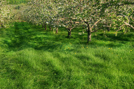 Apple blossoms in the orchards Stock Photo - 2564352